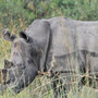 South Africa rhino poaching toll jumps