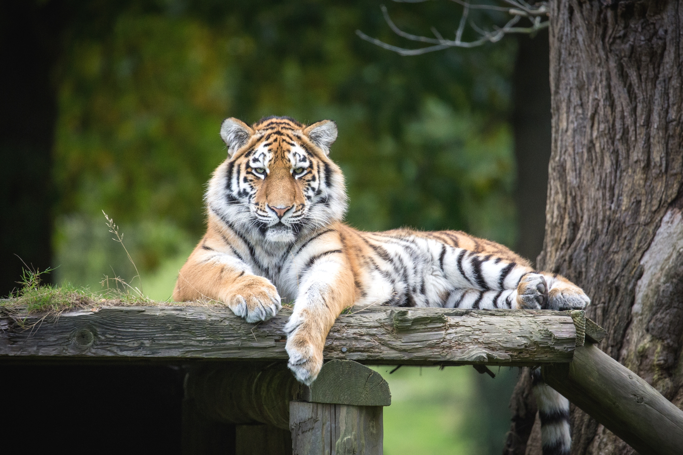 Amur Tiger Milashki at Woburn Safari Park Reduced.jpg