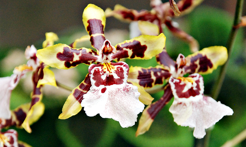 Atlanta Convention and Visitors Bureau_Ultimate List of Things To Do in Atlanta for Nature Lovers_Atlanta Botanical Garden Orchid Exhibit_Joleen Pete Photography.jpg