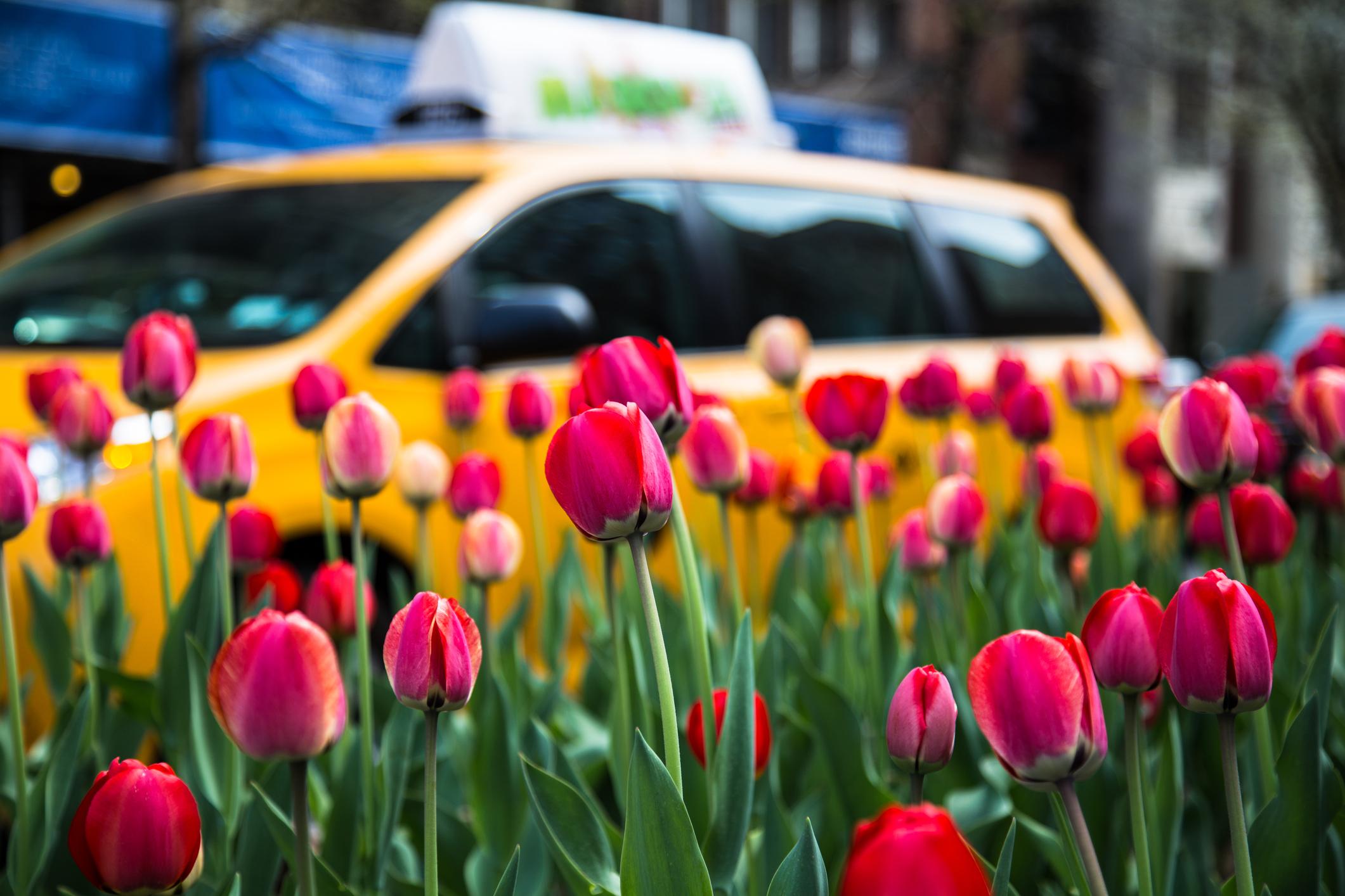 NYC tulips.jpg