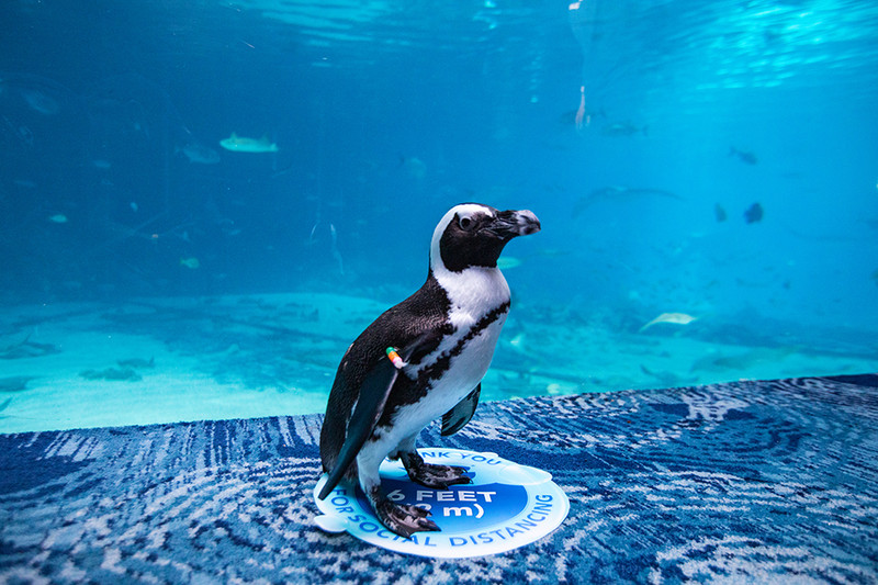 Social distancing never looked so cute. The African penguins are ready to welcome you back to Georgia Aquarium.